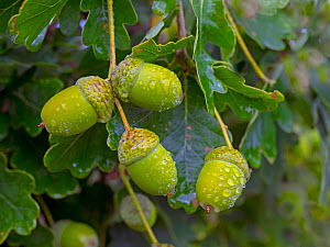 RF - Oak (Quercus robur) acorns in autumn,England, UK, August. (This image may be licensed either as rights managed or royalty free.)  -  Ernie  Janes
