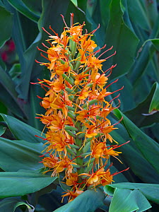 Ginger Lily (Hedychium) 'Tara' growing in autumn border.  -  Ernie  Janes
