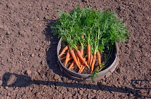 Carrots (Daucus carota subsp. sativus) just picked in seive  -  Ernie  Janes