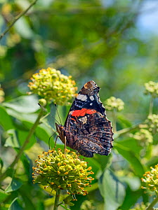 Red admiral butterfly (Vanessa atalanta) on ivy flowers, Norfolk, England, UK, August.  -  Ernie  Janes