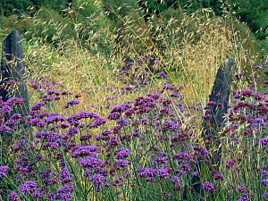 Argentinian vervain (Verbena bonariensis) and Giant feather grass (Stipa gigantea) in garden border. - Ernie  Janes