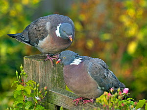 Wood pigeons (Columba palumbus) male and female during courtship preening display, Norfolk, England, UK, August.  -  Ernie  Janes