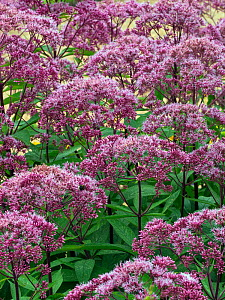Joe Pye weed (Eupatorium maculatum) 'Gateway' in garden border, August.  -  Ernie  Janes