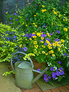 Watering can and cottage garden with Petunias on patio. July 2017. - Ernie  Janes