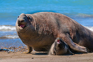 RF - Southern elephant seal (Mirounga leonina) male and female, Valdes, Patagonia Argentina, Word Heritage (This image may be licensed either as rights managed or royalty free.) - Gabriel Rojo