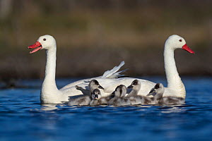 RF -  Coscoroba swan (Coscoroba coscoroba) pair with chicks on water La Pampa, Argentina (This image may be licensed either as rights managed or royalty free.) - Gabriel Rojo
