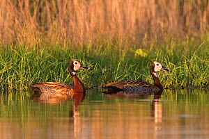 White-faced whistling ducks (Dendrocygna viduata), La Pampa, Argentina  -  Gabriel Rojo