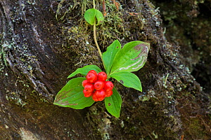 Bunchberry (Cornus canadensis) fruit and leaves, Vancouver Island, British Columbia, Canada. September 2017. - Adrian Davies