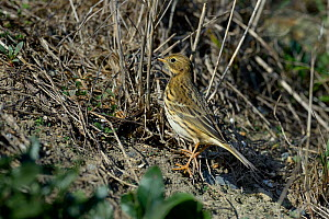 Meadow pipit (Anthus pratensis) Vendeen Marsh, Vendee, France, November.  -  Loic Poidevin