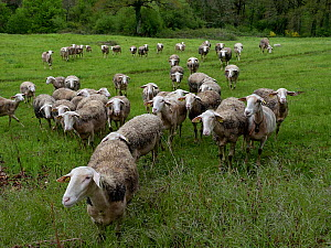 Lacaune sheep, which produce milk for Roquefort Cheese, Aveyron, France, May. - Loic Poidevin