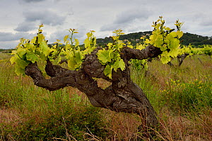 Grape vine, Cotes du Rhone, France, May.  -  Loic Poidevin
