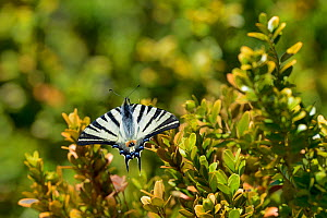 Scarce swallowtail (Iphiclides podalirius) on branch of Box (Buxus)  Lot, France, May.  -  Loic Poidevin