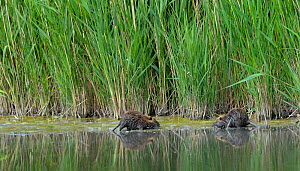 Coypu (Myocastor coypus) in water, Camargue, France, May. Introduced species. - Loic Poidevin