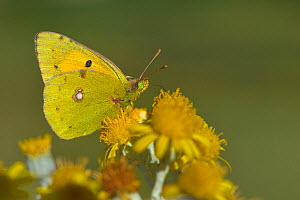 Dark clouded yellow butterfly (Coleas crocea) on flower, Vendee, France, October. - Loic Poidevin