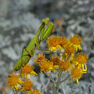 European mantis (Mantis religiosa) on flower (Jacobaea maritima) Vendee, France, September - Loic Poidevin