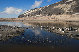 Adelie penguin (Pygoscelis adeliae) on meltwater pond. Cape Adare, Ross Sea, North Victoria Land, Antarctica. Photographed for The Freshwater Project - Michel  Roggo