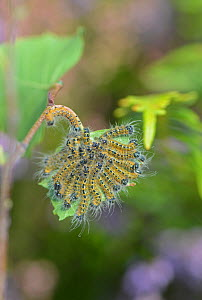 Buff-tip moth (Phalera bucephala) caterpillars clustered on Birch leaf. Surrey, UK. August 2017. - Adrian Davies