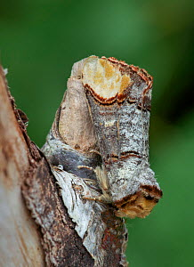 Buff tip moth (Phalera bucephala) Banbridge, County Down, Northern Ireland. - Robert  Thompson