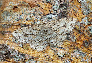 Engrailed moth (Ectropis crepuscularia) camouflaged on tree trunk, River Bann Banbridge, County Down, Northern Ireland.  -  Robert  Thompson