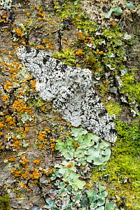 Peppered moth (Biston betularia) camouflaged among lichens,  Banbridge, County Down, Northern Ireland, June. - Robert  Thompson