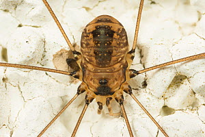 Harvestman spider (Leiobunum rotundum), on wall, Catbrook, Monmouthsire, Wales, UK, July  -  Chris Mattison