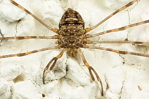 Fork-palped harvestman (Dicranopalpus ramosus) female, Catbrook, Monmouthshire, Wales, UK  -  Chris Mattison
