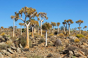 Quiver trees (Aloidendron dichotomum) near Kamieskroon, Western Cape, South Africa - Chris Mattison
