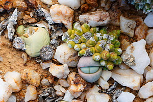 Endemic succulents Oophytum nanum and Argyroderma delaetii growing among quartz pebbles in the Knersvlakte, Western Cape, South Africa, where they are endemic - Chris Mattison