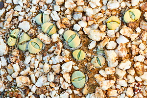 Endemic Stone plant (Argyroderma delaetii) also known as Bababoudjes (Babies' bottoms), growing among quartz pebbles in the Knersvlakte, Western Cape, South Africa - Chris Mattison