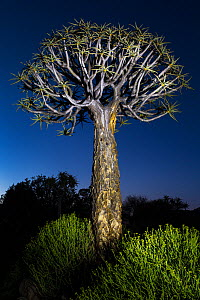 Quiver Tree (Aloidendron dichotomum), Kamieskroon, Western Cape, South Africa  -  Chris Mattison