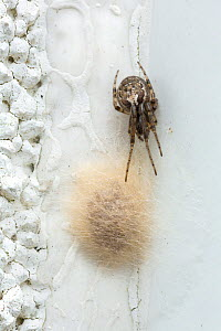 Missing-sector orweb spider (Zygiella x-notata) female guarding her egg-sac, Catbrook, Monmouthshire, Wales, UK  -  Chris Mattison