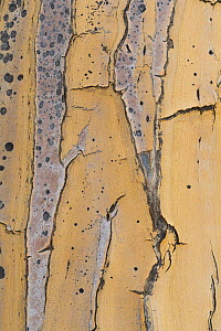 Bark of the Quiver tree (Aloidendron dichotomum), Western Cape, South Africa  -  Chris Mattison