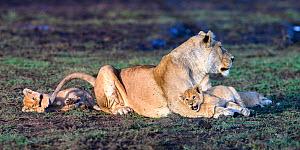 RF - Lion (Panthera leo) female with cubs, 10 weeks, playing and grooming. Woodland on the border of Serengeti / Ngorongoro Conservation Area (NCA) near Ndutu, Tanzania. (This image may be licensed ei... - Nick Garbutt