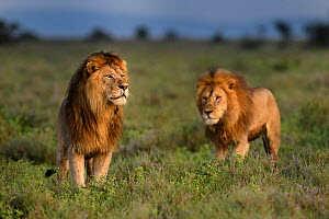 RF - Lions (Panthera leo) - two brothers patrolling territorial boundary. Short grass plains on the border of Serengeti / Ngorongoro Conservation Area (NCA) near Ndutu, Tanzania. (This image may be li... - Nick Garbutt