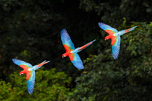 RF -Three colourful  Red-and-green macaws (Ara chloropterus) in flight over forest canopy. Mato Grosso do Sul, Brazil. September. (This image may be licensed either as rights managed or royalty free.)  -  Nick Garbutt
