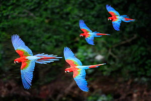 RF - Four colourful Red-and-green macaws or Green-winged macaws (Ara chloropterus) in flight over forest canopy. Mato Grosso do Sul, Brazil. September. (This image may be licensed either as rights man...  -  Nick Garbutt