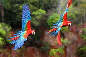 Red-and-green macaws (Ara chloropterus) pair in flight over forest canopy. Buraco das Araras, Jardim, Mato Grosso do Sul, Brazil. September.  -  Nick Garbutt