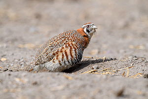 Tibetan partridge (Perdix hodgsoniae) dust bathing. Indus Valley, Ladakh, India.  -  Nick Garbutt