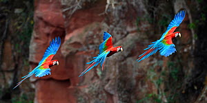 Sequence of a Red-and-green macaw or green-winged macaw (Ara chloropterus) coming into land at its nest hole on a cliff. Buraco das Araras, Jardim, Mato Grosso do Sul, Brazil. September. Digital compo...  -  Nick Garbutt