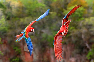 Pair of Red-and-green macaws  (Ara chloropterus) in flight over forest canopy. Buraco das Araras, Jardim, Mato Grosso do Sul, Brazil. September.  -  Nick Garbutt