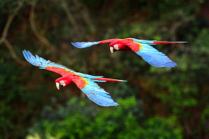 Red-and-green macaws (Ara chloropterus) in flight over forest canopy. Buraco das Araras, Jardim, Mato Grosso do Sul, Brazil. September.  -  Nick Garbutt