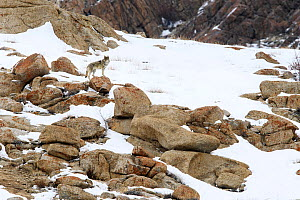 Wolf (Canis lupus) male on rocky snow covered slopes. Ulley Valley in the Himalayas, Ladakh, India. - Nick Garbutt