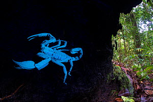 Borneo giant forest scorpion (Heterometrus longimanus) resting inside a fallen hollow log. Danum Valley, Sabah, Borneo. Photographed with natural light and UV light, see 1588717 for a comparative imag... - Nick Garbutt
