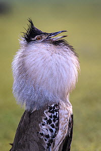 Kori bustard (Ardeotis kori) courtship display. Ngorongoro Crater, Ngorongoro Conservation Area, Tanzania.  -  Nick Garbutt