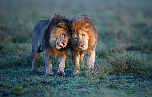 Lions (Panthera leo) - two brothers patrolling territorial boundary, affectionate behaviour, border of Serengeti / Ngorongoro Conservation Area (NCA) near Ndutu, Tanzania.  -  Nick Garbutt