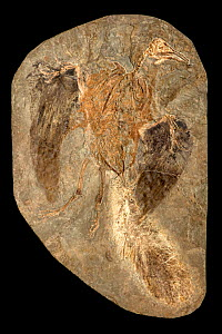 Confuciusornis sp. fossil. This genus was a primitive crow-sized bird from the Early Cretaceous Yixian and Jiufotang Formations of China, dating from 125 to 120 million years ago  -  John Cancalosi