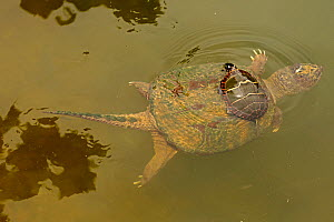 Snapping turtle (Chelydra serpentina) with Painted turtle (Chrysemys picta) feeding on algae on the back of the snapper,  Maryland, USA. August.  -  John Cancalosi