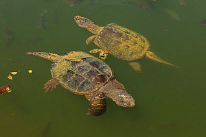 Snapping turtles (Chelydra serpentina) with Painted turtle (Chrysemys picta) feeding on algae on the back of the snapper,  Maryland, USA. August.  -  John Cancalosi