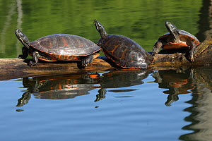 Northern red-bellied turtles (Pseudemys rubriventris) basking, Maryland, USA. May.  -  John Cancalosi