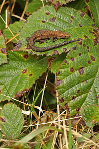 Viviparous lizard (Zootoca vivipara), Herefordshire, England UK. September.  -  John Cancalosi